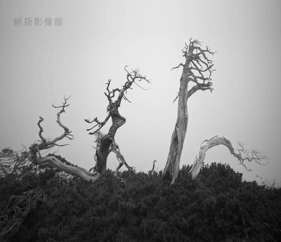 陳志宏,《高山圓柏-6》,2011。