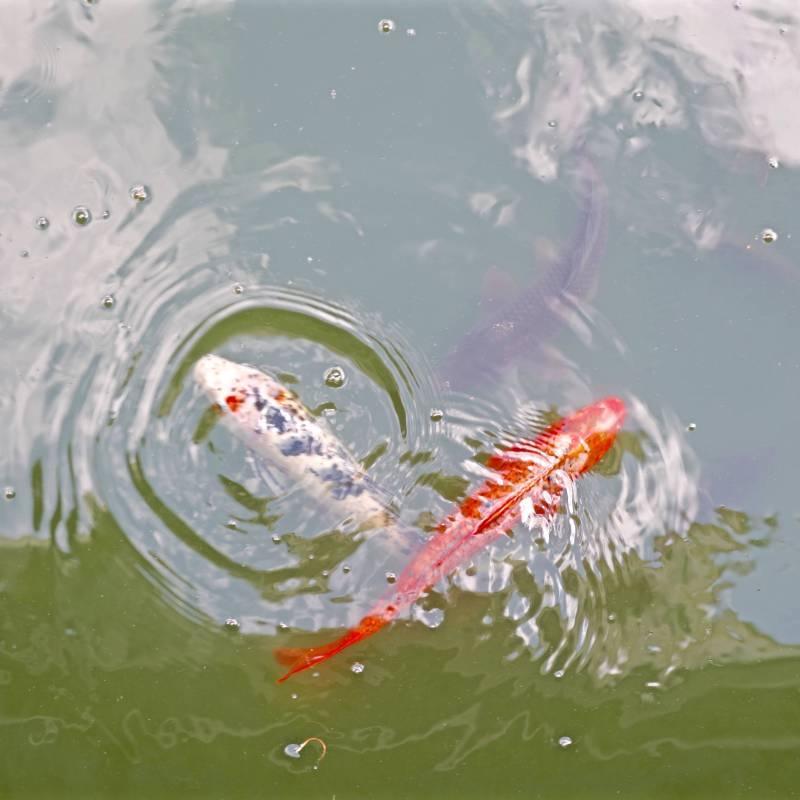 魚池自畫像–2,100x100cm, 壓克力、微噴於畫布, 2017