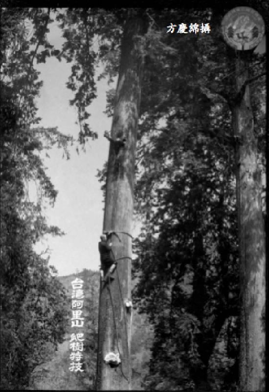 方慶綿《阿里山爬樹特技》,年代待考