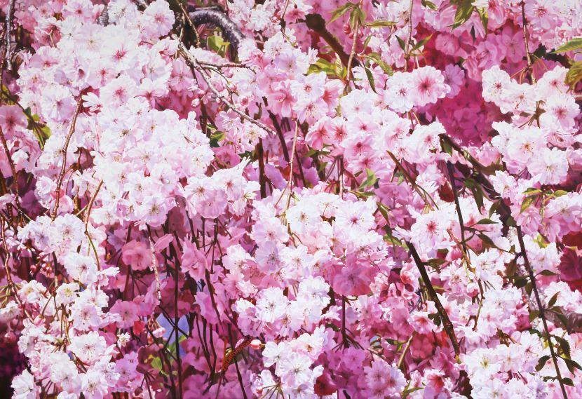 林嶺森-雨晴枝垂  Weeping cherry tree after rain
