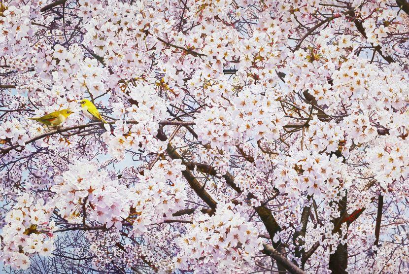 林嶺森-吉野綠繡眼 Japanese White-eye Shuttle Through Yoshino Cherry Blossoms