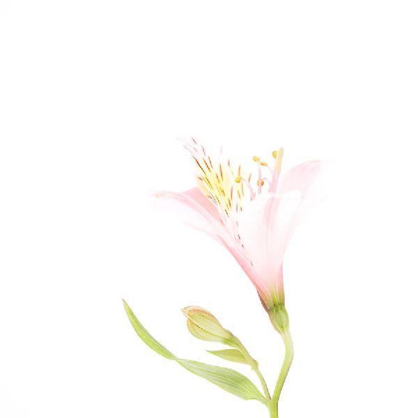 近藤悟-水仙百合 Alstoemeria