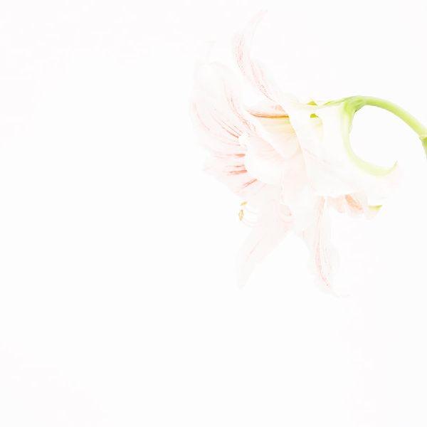 近藤悟-孤挺花 Amaryllis 1