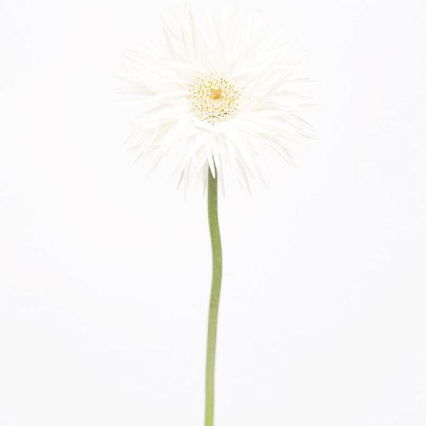 近藤悟-非洲菊 Transvaal Daisy