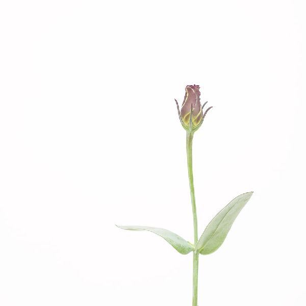 近藤悟-洋桔梗 Lisianthus
