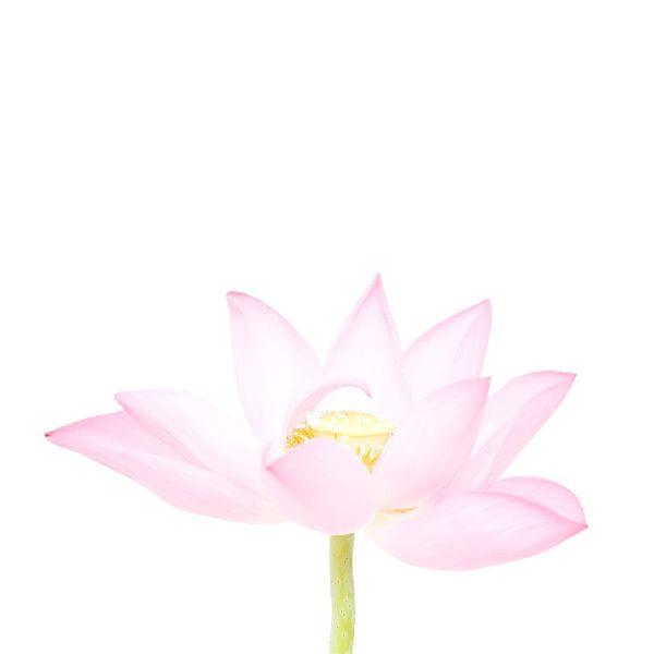 近藤悟-荷花 Lotus 1