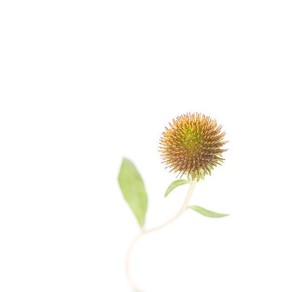 近藤悟-紫錐花 Coneflower