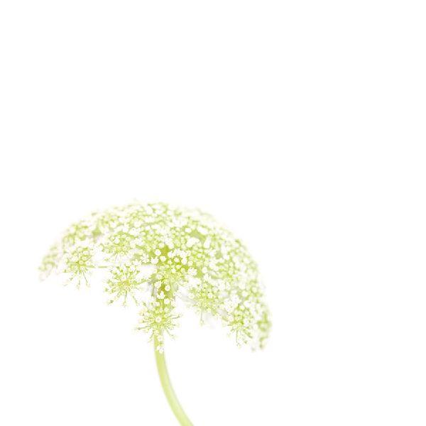 近藤悟-蕾絲花 Lace flower 2
