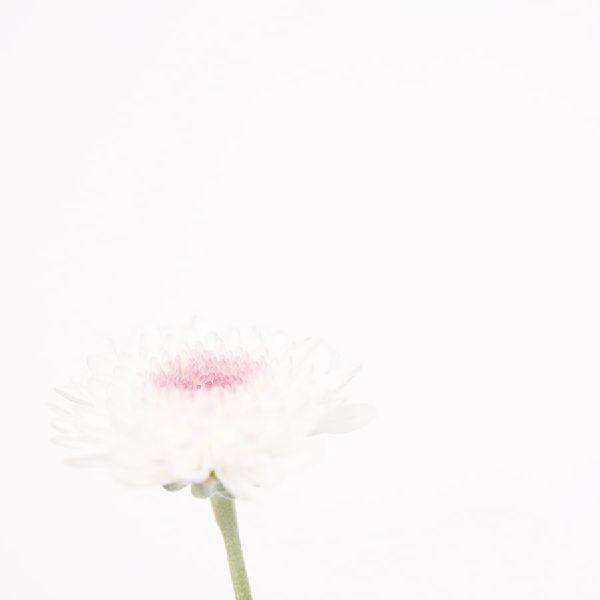 近藤悟-雛菊 Daisy