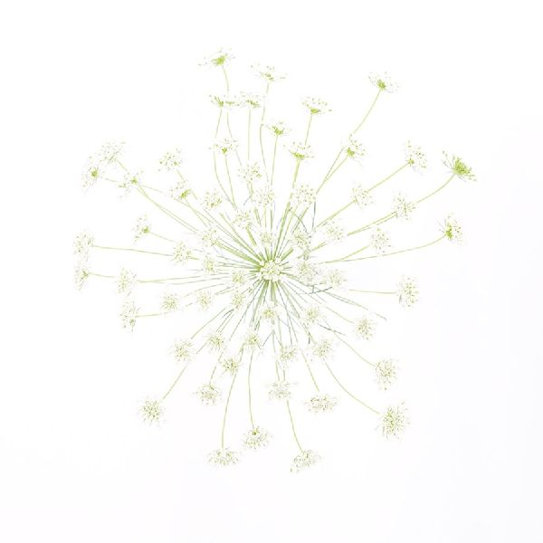 近藤悟-蕾絲花 Lace flower1