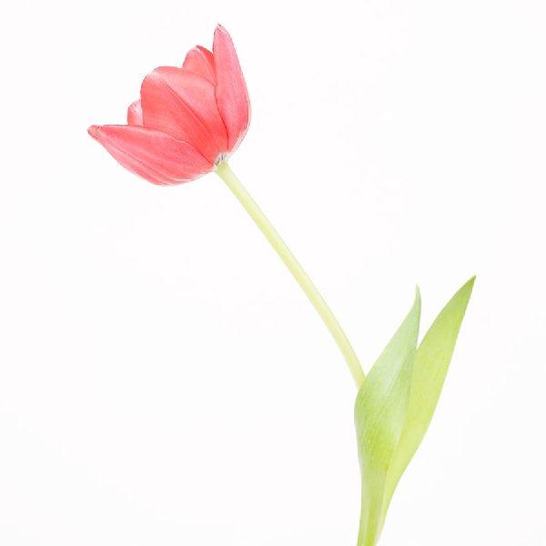 近藤悟-鬱金香 Tulip